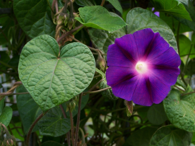 ... hallucinogenic seeds of Ipomoea purpurea (Morning Glory Purple